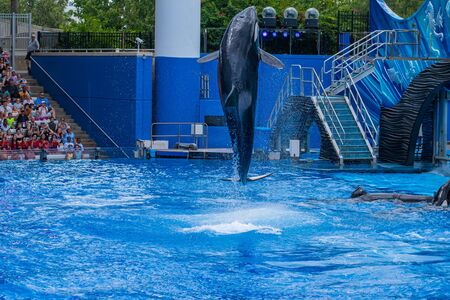 Orlando, Florida. July 18, 2019. Majestic killer whales jumping in One Ocean show at Seaworld 6 Stock Photo - 131498137