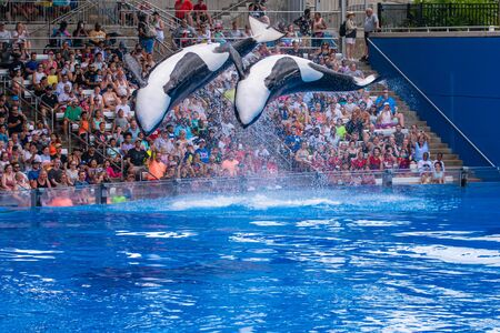Orlando, Florida. July 18, 2019. Majestic killer whales jumping in One Ocean show at Seaworld 11