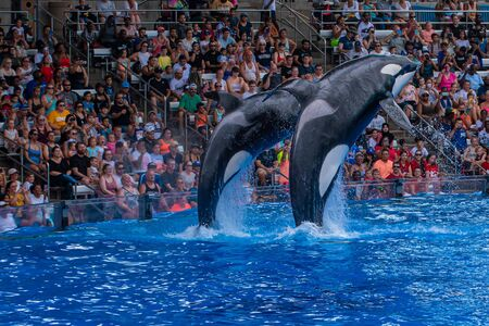 Orlando, Florida. July 18, 2019. Majestic killer whales jumping in One Ocean show at Seaworld 14