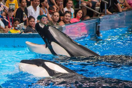 Orlando, Florida. July 18, 2019. People having fun majestic killer whales in One Ocean show at Seaworld 2