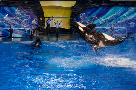 Orlando, Florida. November 16, 2019. Killer whale jumping in Miracle Show at Seaworld (20) Redactioneel