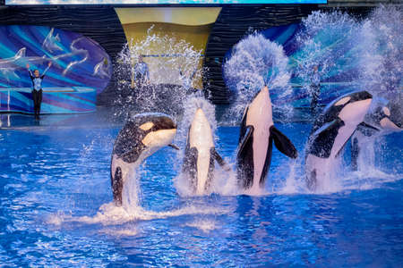Orlando, Florida. November 16, 2019. Killer whales jumping in Miracles Show at Seaworld (2)