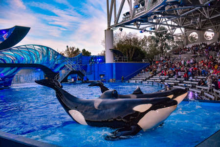Orlando, Florida. December 25, 2018. Beautiful whales posing in front of the public in One Ocean Show at Seaworld in International Drive area (1)