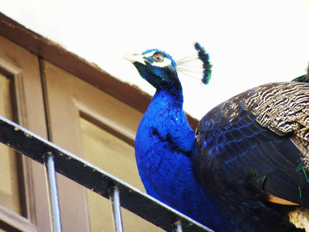 forelock: Peacock