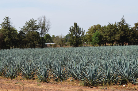 tequila: Agaves Tequila