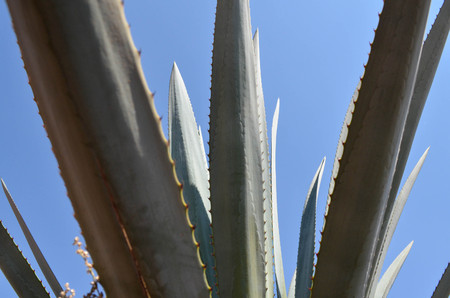 fibrous: Agave leaves