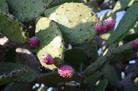 ceos: Prickly pear cactus Stock Photo