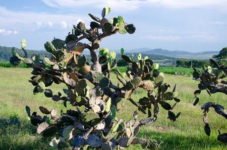 ceos: Cactus bush Stock Photo