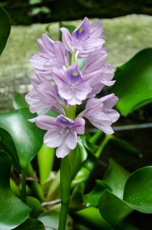 temperate region: Lily