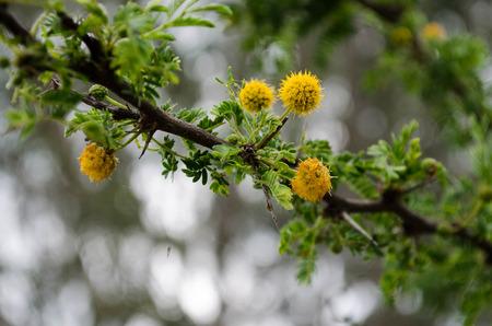 Flowers Huizache