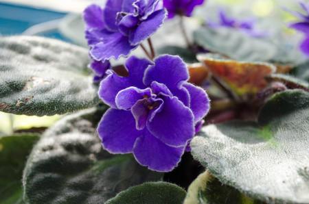 velvety: Violets