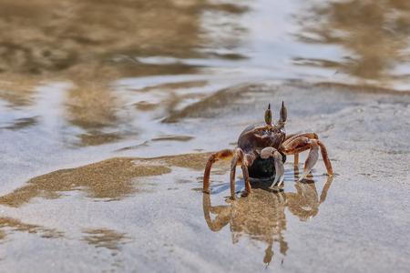 Live crab on the beach sand Close up, macro photo