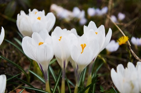 First white crocus flowers