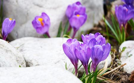 First violet crocus flowers
