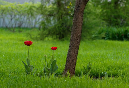 Red tulips growing at garden