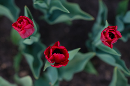 Red tulips from above macro