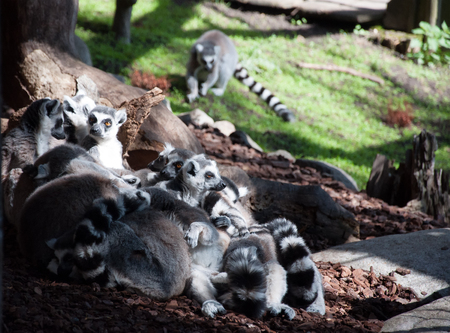 Group of lemurs communicating outdoor