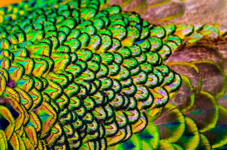 Outfocus of peacock feathers is colorfull for use backgroud ,Texture and wallpaper.