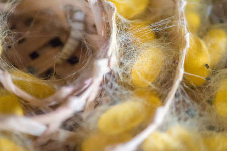 Clouse-upYellow silkworm cocoon shell in nests; select focus. Stock Photo
