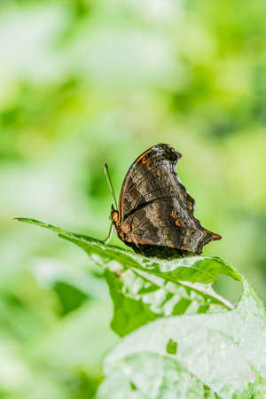 Close up of Wizard ; Rhinopalpa polynice (Familly Nymphalidae) butterfly in nature.