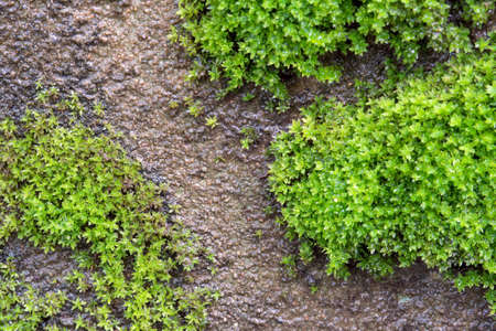 The moss on the walls drip with moisture for background, texture and wall paper. Archivio Fotografico