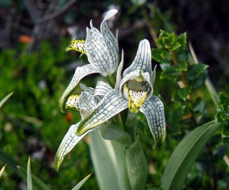 torres: Wild orchid (Torres del Paine, Chile)