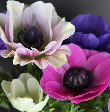 colorful poppies royalty free photos pictures images and stock, Beautiful flower