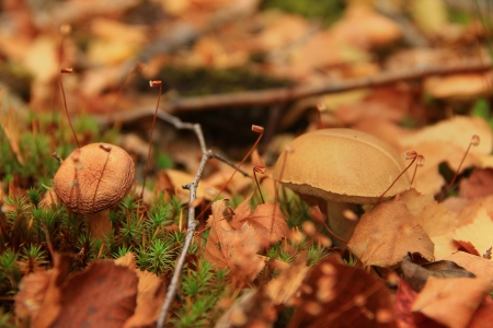 grew: two mushrooms grew in a small  heap of leaves Stock Photo