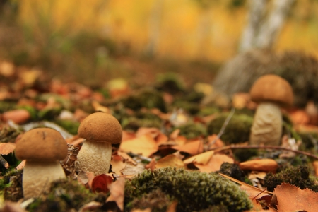 three mushrooms grow on the forest glade covered with yellow leaves photo