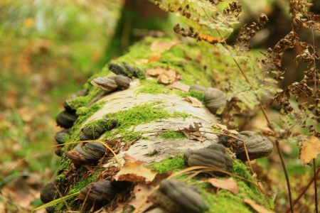 singly: The wood mushrooms growing on an old, mossy and birch trunk                                                                      Stock Photo