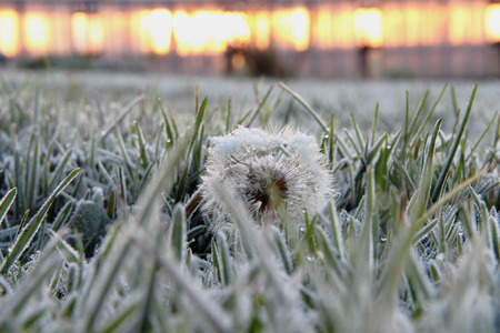 green grass and dandelion covered with hoarfrost in the winter                                                        photo