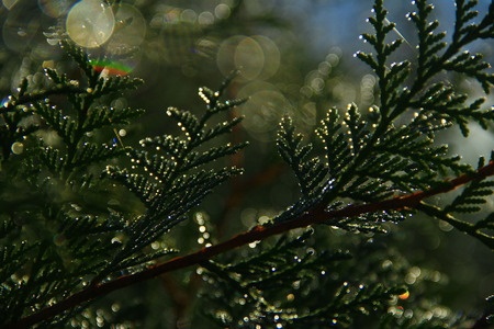 coniferous branch with dew drops, effect Bokke photo