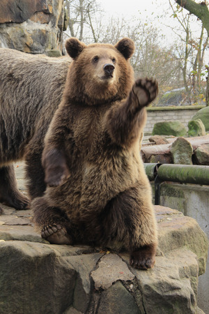 begs: the big  the brown bear sits on a stone and begs, in a zoo Stock Photo