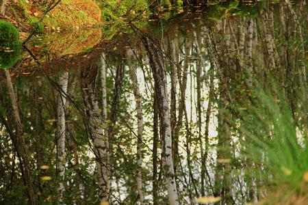 ruffle: reflection in water of the autumn birch wood