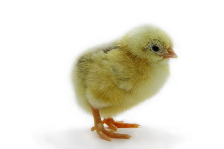 Yellow chick on white background in full length. photo