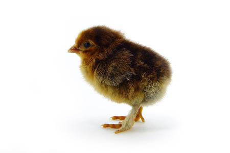 orange chick on white background in full length. photo