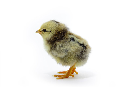 spotty  chick on white background in full length. photo