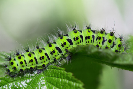 mol: shaggy striped with black spots caterpillar munches a juicy leaf
