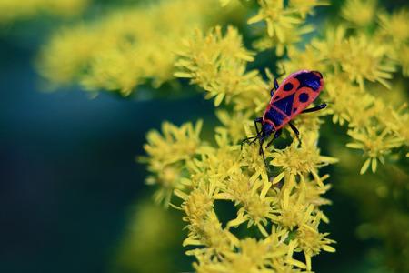 black eyes: bug rosso con gli occhi neri sulla parte posteriore � seduto su un fiore giallo