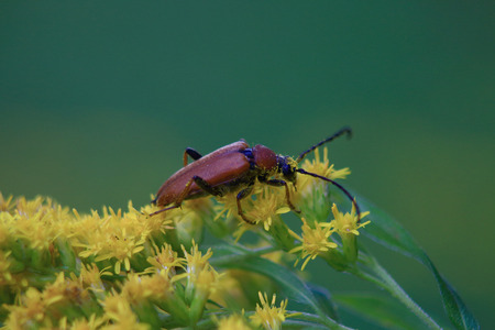 big brown beetle barbel have pollen small yellow flowers, in the summer day photo