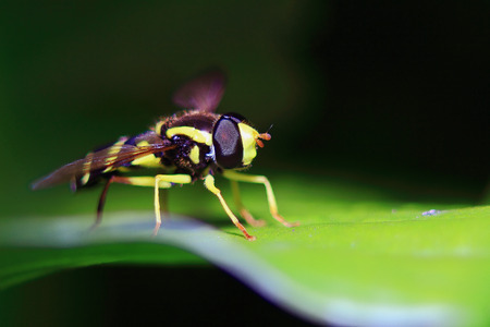 small similarity of a wasp with a ridiculous modochka sits on a leaf, macro shooting