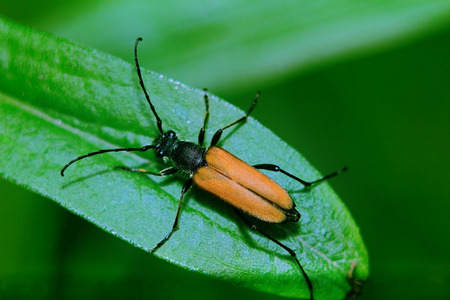 long brown beetle resting seated on a green juicy leaf photo