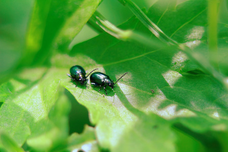 two little glowworms sit on a juicy green leaf, a sunny day photo
