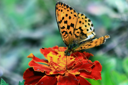 unusually: orange butterfly with patterned wings and unusually spotty eyes,collects nectar from marigolds