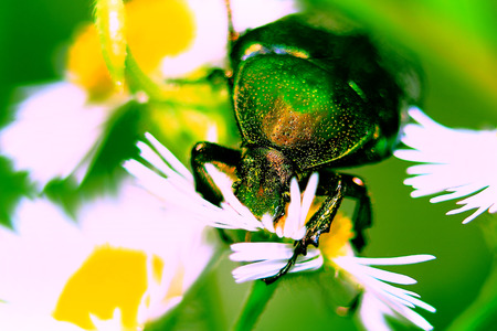 large green firefly fell asleep on field daisies photo