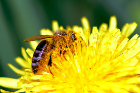 bee ambalavasi in the pollen, dandelion,macro shooting on a blue background photo