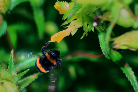 flew: bumblebee flew with yellow flower,life in the garden Stock Photo