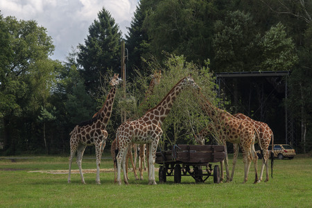 aviary: family of giraffes in feeding time at the zoo,they eat the leaves from the branches of trees