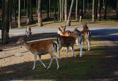 herd of deer: herd of female Sika deer wanders along the road