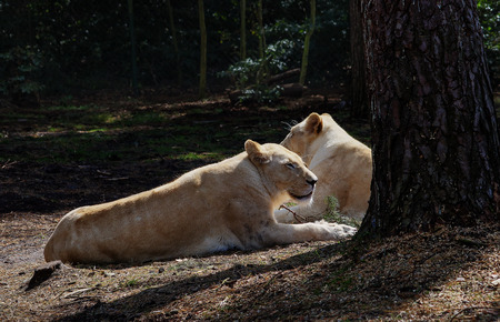 jointly: two adults and a beautiful lioness lying under the rays of the summer sun